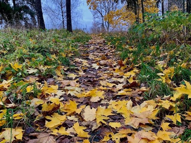 Syksyinen keltaisten lehtien peittämä polku metsässä